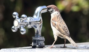 A sparrow tries to drink water from a tap at a park in Suwon, South Korea