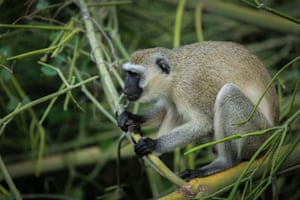 A monkey sits on a tree in the Tsavo East National Park near Voi, Kenya