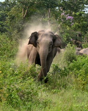 A male elephant charges towards Indian villagers after they threw stones in an attempt to scare away the herd of wild elephants that had strayed close to the village of Rakamjote, close to the India-Nepal border