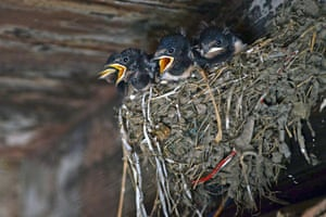 A nest of young swallows in Srinagar, India.