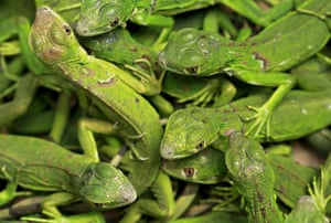 The national police force of Costa Rica rescued 81 iguanas that had been confined to a box at a hotel in San Jose