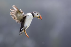 An Atlantic Puffin comes into land on Skomer Island, Pembrokeshire, Wales
