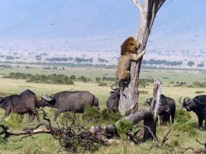 A lion clings to the tree as an angry buffalo herd waits below, on the Maasai Mara, Kenya