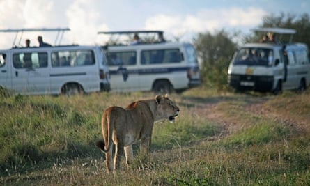 A lioness surrounded by safari tourists in the Maasai Mara national park.