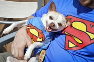 Is it a bird? Is it a plane? No, it's Super Chihuahua.