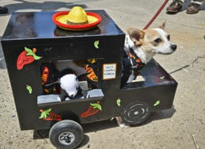 A chihuahua with damaged hind legs rides in a custom-made miniature taco truck.