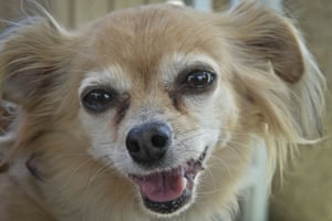 Cheerful chihuahua in close-up.