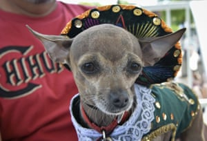 A chihuahua in a bejewelled and lace-edged outfit.