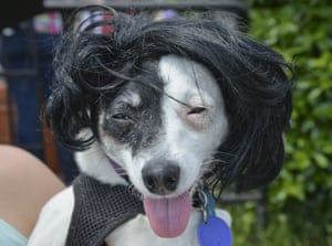 A chihuahua keeps its owner's wig warm.