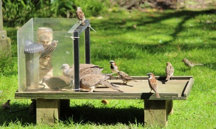 Spotted doves and house sparrow at feeding station/Josie Galbraith