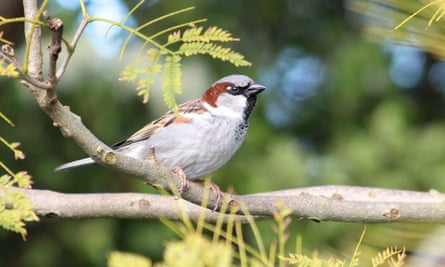 Male house sparrow, <em>Passer domesticus</em>. This bird is an invasive species that has been introduced throughout much of the world, where it is dependent upon the presence of humans.