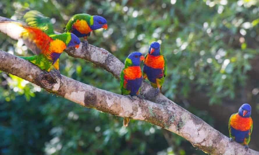 Five rainbow Lorikeet birds sitting on a branch