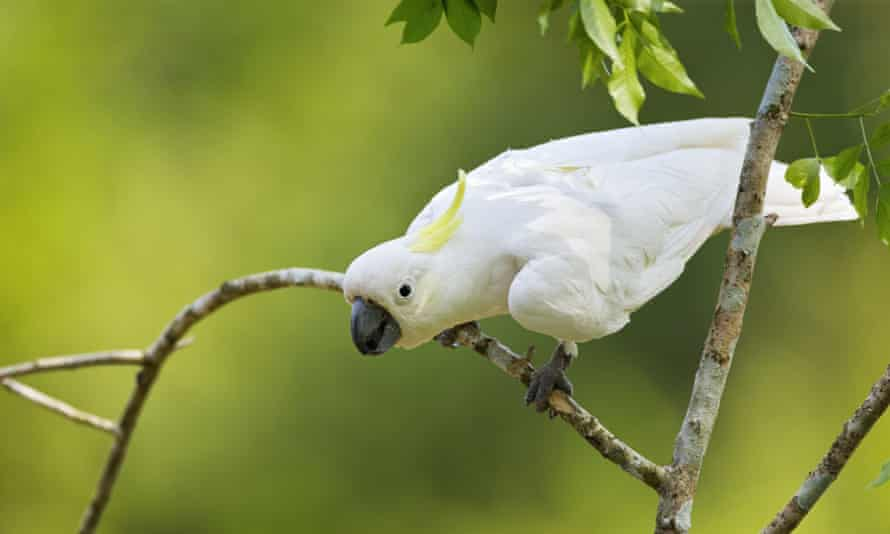 A yellow-crested cockatoo, Cacatua sulphurea, is on the IUCN list of endangered species.