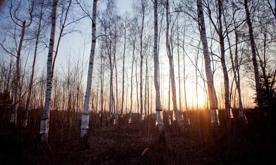Collecting birch water from birch trees