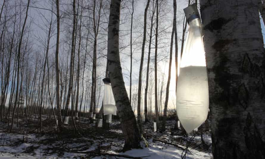 Birch trees being tapped in Latvia