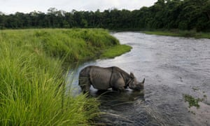 A one horned rhino drinks from a river