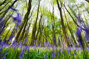 A general view of Bluebell (Hyacinthoides non-scripta) plants at Ashridge Forest on May 4, 2015 in Hertfordshire, England.  For a couple of weeks in May in each year, many of the woods in the UK are carpeted with English Bluebells. The ancient woodlands on the Ashridge Estate, managed by the UK s National Trust, are home to one of the finest examples of massed flowering bluebells that are an icon of Spring in England.