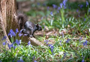A rare black squirrel foraging among bluebells in Fairlands Valley Park, Stevenage on 28 April.  Black squirrels can also be found in the United Kingdom, where grey squirrels were first introduced from North America at the end of the 19th century. The origin of the UK's black individuals has been a topic of dispute, with initial research indicating that melanistic individuals are descendants of black zoo escapees. Regardless of their origins, the melanistic population in the UK continues to grow