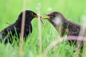 A blackbird feeds worms to its chick at Lake Constance in Langenargen, Germany, May 5, 2015.