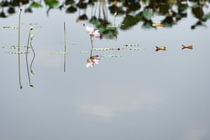 A blooming lotus is seen in Bueng Boraphet, a freshwater swamp and lake in Nakhon Sawan, central Thailand, April 30, 2015. Covering an area of 212.38 square kilometers, Bueng Boraphet is home to nearly 200 animal and plant species. The lake is a destination for migrating birds between September and March.