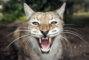 A picture taken on October 16, 2014 shows an Eurasian lynx at the zoological park of the eastern French city of Amneville.