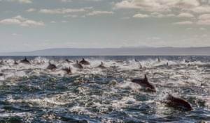 The water is churned up by the speed of the dolphins, on March 12, 2015, in Port Elizabeth, South Africa.  Hundreds of dolphins appear to fly above the water in a feeding frenzy. The magical pictures show a pod of at least 800 dolphins diving into the water to hunt and catch fish. The speed at which the mammals chase them down is shown by the stream of bubbles they leave in their wake along the coastline between Mossel Bay and Port Alfred in March. Pods of up to a thousand common dolphins are common from February to June as they hunt fish.