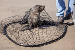 A stranded fur seal netted by volunteers from The Marine Mammal Center for rescue on Ocean Beach in San Francisco, California, USA, 27 April 2015. Wildlife services in California are being pushed to their limits this year. Since January 2015, every month has set a record in sea lion strandings, mostly sea lion pups, according to the National Oceanic and Atmospheric Administration.