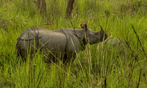Nepal rhino count, Chitwan National Park, April 2015: one-horned rhino mother and calf.In April 2015, the Nepal Government (Department of National Parks & Wildlife Conservation and Department of Forests) in collaboration with the National Trust for Nature Conservation and WWF conducted a comprehensive count to ascertain the number of one-horned rhinos in the Terai Arc Landscape of Nepal. Within Chitwan National Park this count took place over 3 weeks, and involved 30-plus elephants and 170 field observers and personnel. On 19th April the transect line involved 30 elephants, stretching some 3km, and covered a transect block 16Km long, over 12 hours. Over 100 rhinos were recorded this day alone. The count found that in total there are now 645 rhinos across Nepal's Terai Arc Landscape (605 in Chitwan National Park), a 21% increase in total population  from the 534 individuals  recorded in 2011.