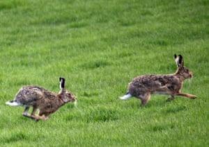 Running hares, Derbyshire