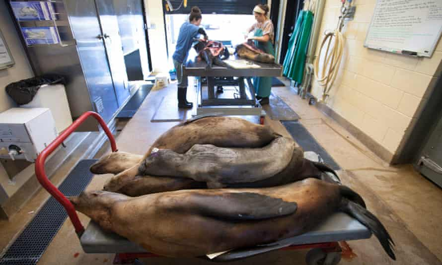 A cart of deceased malnourished and dehydrated sea lions that had been stranded along the northern California coast, await their turn for necropsy.