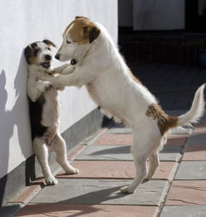 Jack Perks's chance picture of a jack russell pinning its puppy against a wall, which went viral.