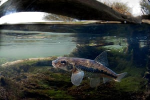 A gudgeon photographed by Jack Perks, who specialises in underwater work, and raised £3,500 via ­Kickstarter to photograph every freshwater fish in Britain.
