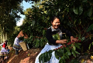 Coffee growers pick fresh coffee fruits in a plantation in Pu'er, southwest China's Yunnan Province.