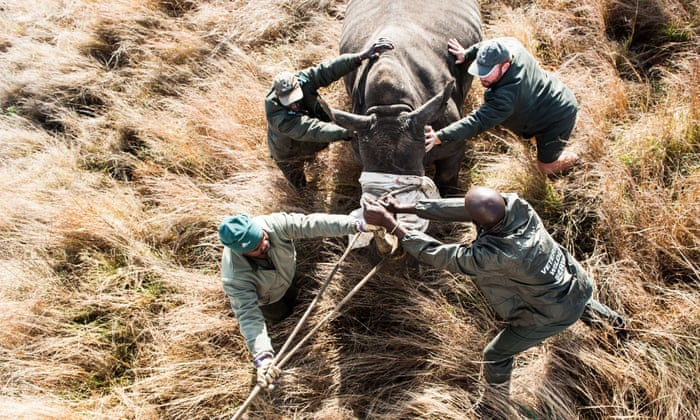 As poaching heats up, conservationists advocate sending South Africa rhinos to Texas