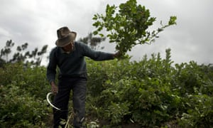 Julio Huayanpuntio, 62, cuts the leaves of his potato field to feed his cows, in Huaraz, Peru