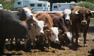Cliven Bundy's cattle