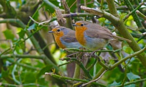 Pair of Robins-Erithacus rubecula.Spring. Uk