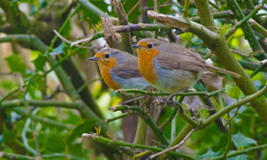 Pair of Robins-Erithacus rubecula.Spring. Uk