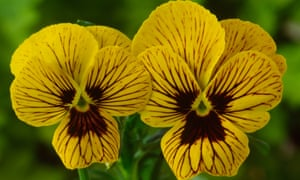 'Little gold faces striped with black': Viola 'Tiger Eyes'.