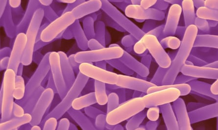 Bifidobacteria, a type of gut bacterium. Researchers believe that the different types of gut microbes found in individuals has a significant impact on how their bodies respond to food.