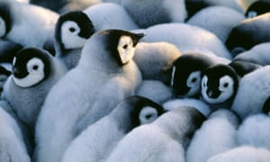 Baby penguins cuddling together