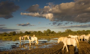 White horses in the marshes near Les Stes-maries-de-la-mer, Camargue, France.