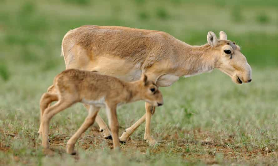 134,000 saiga died in the space of just two weeks