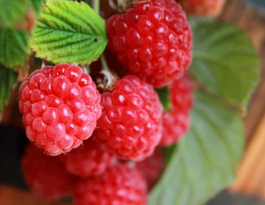 Ruby Beauty mini raspberry fruit