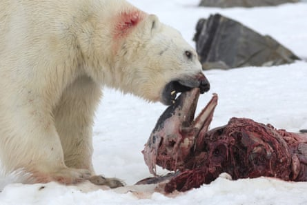 A polar bear eats a white-beaked dolphin in the Smeerenburgfjorden fjord, in the Norwegian archipelago of Svalbard, Norway, on July 4, 2014. Dolphins had become trapped too far north possibly due to the almost absence of ice in the region in the past few years and the sudden arrival of ice in April. As the climate warms, the sight of polar bears tucking into weird meals, such as dolphins, could become more common.