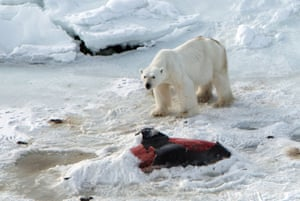 This handout photo from April 23, 2014 made available by the Norwegian Polar Institute shows a male polar bear with the carcass of a white-beaked dolphin it has partially covered with snow to keep for later having already eaten another one at Raudfjorden on the Norwegian Arctic archipelago of Svalbard.