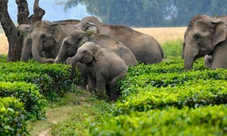 A herd of wild elephants walking through a tea plantation.