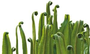 Asplenium scolopendrium, Hart's Tongue Fern