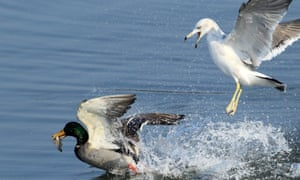 The gull problem is about more than damage to property or humans: they may drive out other bird species from our towns.