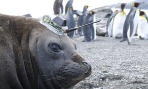Elephant seal with sensor on its head